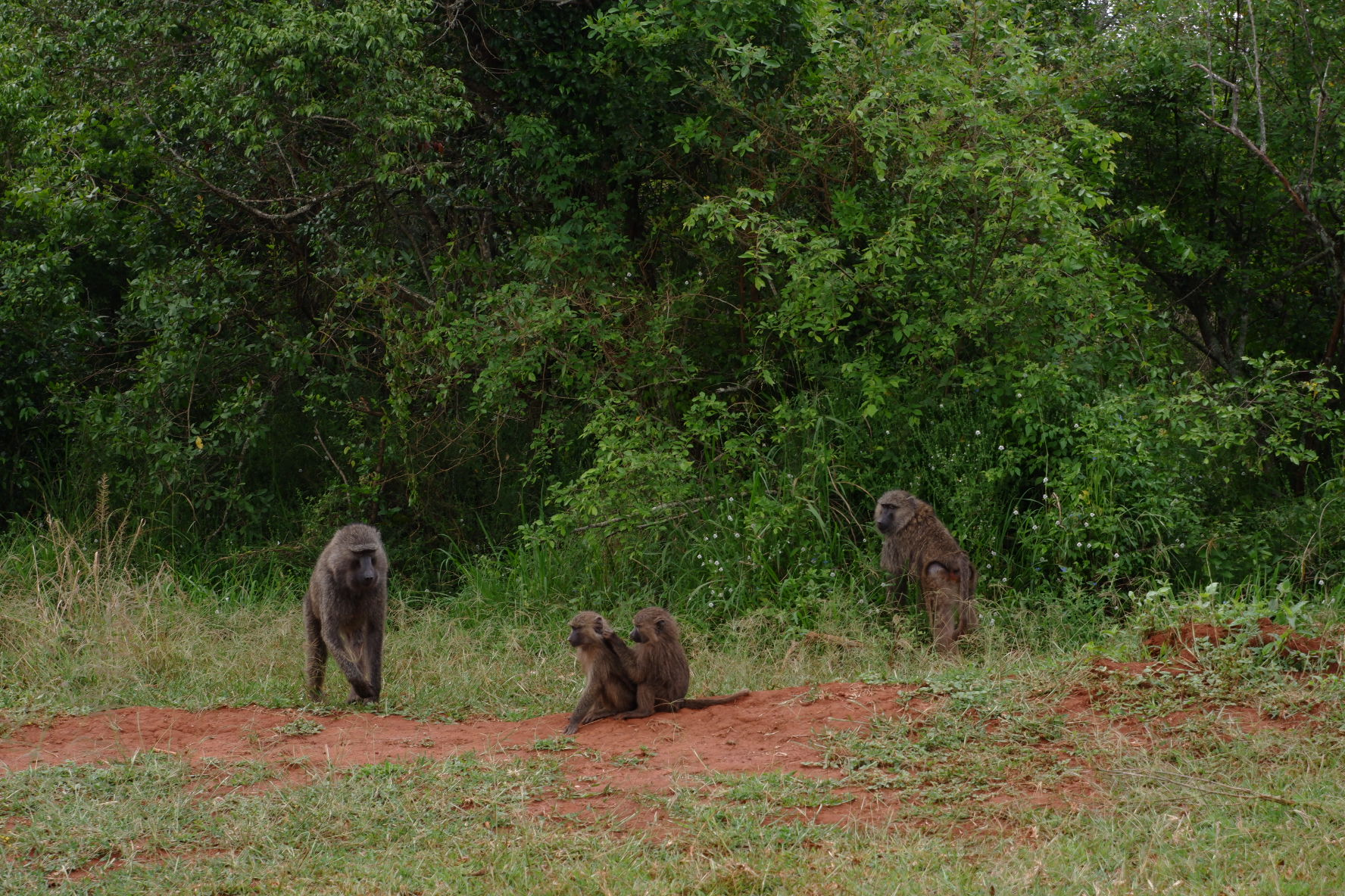 Baboons (grooming)